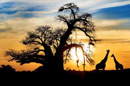 Africa_Safari_Baobab_Giraffe_Eden Made